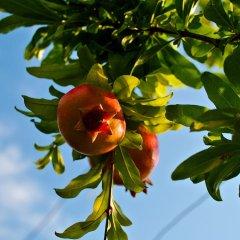 גידול וטיפול בעץ רימון בשילוב חסכון במים